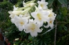 与那国町花のテッポウユリ満開 道行く人の目を楽しませる